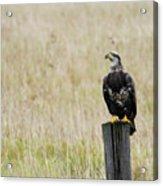 Juvenile Eagle On Post Acrylic Print