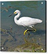 Juvenile Egret Acrylic Print
