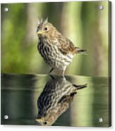 Juvenile House Sparrow 0689 Acrylic Print