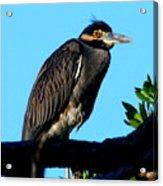 Juvenile Night Heron Acrylic Print