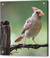 Juvenile Northern Cardinal Acrylic Print