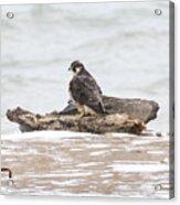 Juvenile Peregrine Falcon Acrylic Print