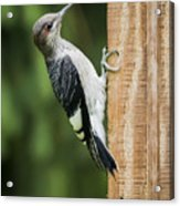 Juvenile Red Headed Woodpecker Acrylic Print
