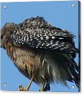 Juvenile Red-shouldered Hawk Acrylic Print