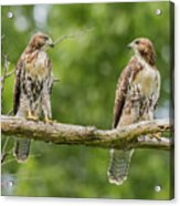Juvenile Red-tailed Hawks Eyeing Each Other Acrylic Print