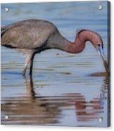 Juvenile Reddish Egret Acrylic Print