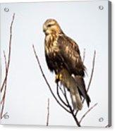 Juvenile Rough-legged Hawk  Acrylic Print