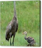 Juvenile Sandhill Crane With Protective Papa Acrylic Print