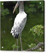 Juvenile Wood Stork Acrylic Print