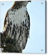 Juvi Red Tail Hawk Acrylic Print