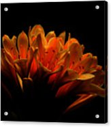 Kaffir Lily Acrylic Print