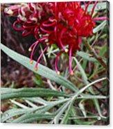 Kahili Flower Acrylic Print