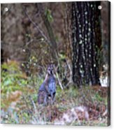 Kangaroo In The Forest Acrylic Print