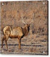 Kansas Elk Acrylic Print