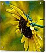 Kansas Sunflower Acrylic Print