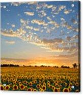 Kansas Sunflowers At Sunset Acrylic Print