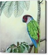 Kasanga Bajo El  Guarumo Acrylic Print