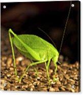 Katydid Close Up Bug Acrylic Print