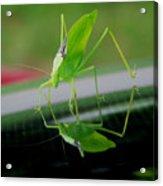 Katydid  Acrylic Print by Karen M Scovill