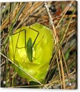 Katydid What Acrylic Print