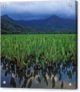 Kauai Taro Field Acrylic Print