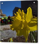 Kayak Launch Daffodil Cambridge Ma Acrylic Print