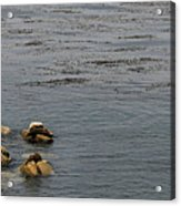 Kayakers And Seal Lions Acrylic Print