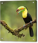 Keel Billed Toucan Perched On A Branch In The Rain Forest Acrylic Print