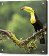Keel-billed Toucan Perched Under The Rai Acrylic Print
