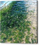 Kelp At Low Tide Line Acrylic Print