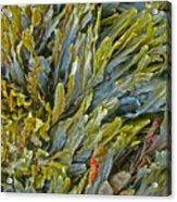 Kelp On A Rock Acrylic Print