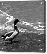 Kemah Duck Acrylic Print