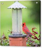 Kentucky Cardinal  Acrylic Print
