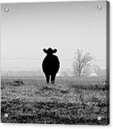 Kentucky Cows Acrylic Print
