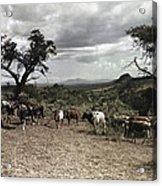 Kenya: Cattle, 1936 Acrylic Print