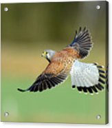 Kestrel Bird Acrylic Print by Mark Hughes