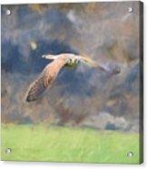 Kestrel Flying Acrylic Print