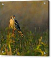 Kestrel In Meadow Acrylic Print