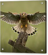 Kestrel On Final Approach Acrylic Print