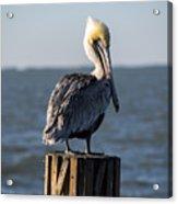 Key Largo Florida Yellow Headed Pelican Acrylic Print