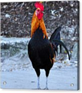 Key West Cock Acrylic Print
