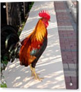 Key West Rooster Acrylic Print