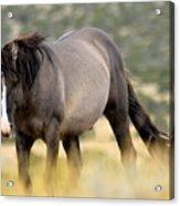 Kiger Stallion Acrylic Print