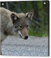 Killarney Coyote Acrylic Print