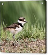 Killdeer - 24 Hours Old Acrylic Print