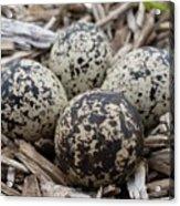 Killdeer Eggs Acrylic Print