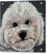 King Cavalier And Toy Poodle Mix Acrylic Print