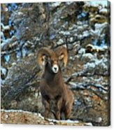 King Of The Canadian Rockies Acrylic Print