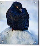 King Of The Mountain Acrylic Print