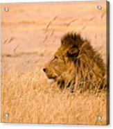 King Of The Pride Acrylic Print